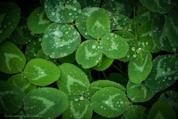 Trifolium sp